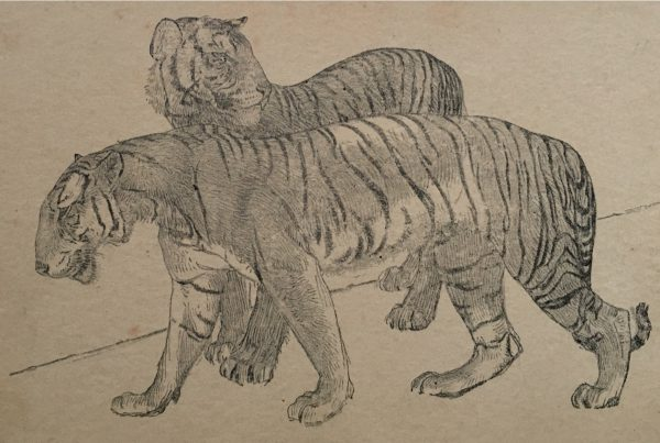 """Young Burmese Tigers, from """"The Zoo"""" A Sketch Book by A.W. Peters, published by A. & C. Black, Ltd., Soho Square, London, W. I, British Manufacture"""